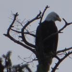 Property resident. The beautiful Canadian Eagle