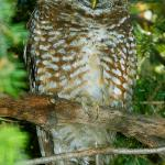 Spotted Owl is the star of nearby Miller Canyon