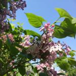 Lilac near hotel's entrance
