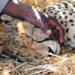 Cheetah Research Sanctuary