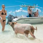 The Swimming Pigs are only a short boat ride away. Get there early when they are still hungry