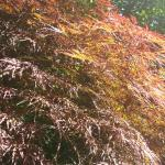 More Japanese Maples…Large and Lovely!
