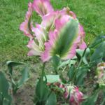 My favourite tulip