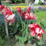 Another of the tulip varieties