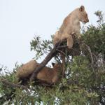 Hungrige Löwen!