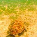 Resident Sea Turtle of Big La Laguna