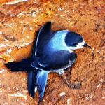 Hermoso pájaro azul por identificarse