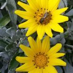 Abeille butinant les fleurs jaunes