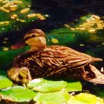 Mother Duck & Chick