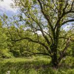 Gorgeous Oak in Warm Springs
