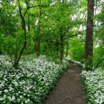 Trail to Hermannskogel through carpets of flowering wild garlic