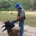 Accomplished falconer, Dennis Robson, puts magnificent Bella, the rescued Verraux Eagle, through