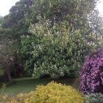 Amazing chestnut tree in the garden