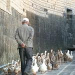 A local man walking his ducks home in the evening
