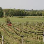 Grape farm of the winery