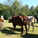 Driving the oxen