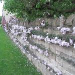 A wall of clematis and honeysuckle