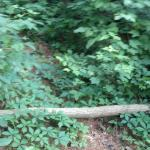Trails overgrown and covered with poison ivy and oak
