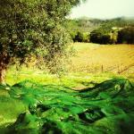 Raccolta delle Olive / Olive's Harvest