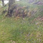 See bluebells in our wood in Spring