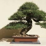 Pacific Bonsai Museum