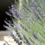 Lavender beside the enterance stairs
