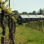 Syrah vines and the old barn