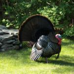 Turkey showing his stuff in the back yard