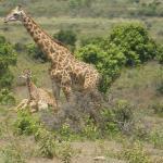 Giraffee At Arusha Park