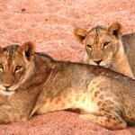 entspannte Löwen