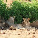 dösendes Löwenrudel