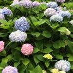 紫陽花も見頃