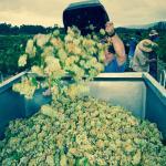 Picking - Orange Vineyard NSW