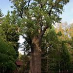 Chrobry Oak (Dab Chrobry)