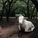 Cow Sculptures and Garden