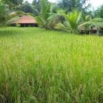 Au milieu d'un champ de riz. ..