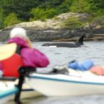 Kayak with the Orcas!