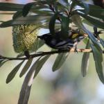 Honeyeater dines on Banksia outside lounge window