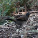 Lyrebird spots me and dashes for cover