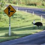 Wild cassowary near Rainforest motel. Mission beach Feb 2015
