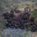 Heard of buffalo that are expected to be seen on the Kruger Day plan
