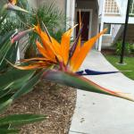 Nice landscaping:  bird-of-paradise flower alongside walkway to rooms