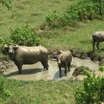 Chwe (Water Buffalo) Wallowing in Naypyitaw