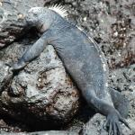 Iguana en reposo vertical