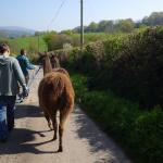 Llamas on a country lane