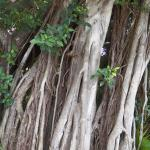 cool banyan tree
