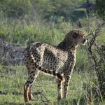 Cheetahs on S28
