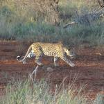 Leopard  hunting Porcupine on H10