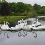 Swan boats awaiting passengers.