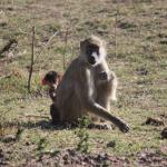 Mother and baby baboon.